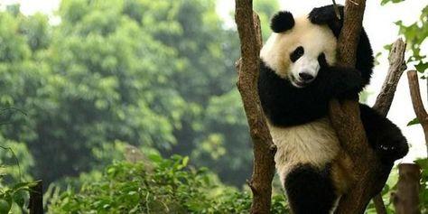 Paling Keren 26 Gambar Hewan Lucu Mematikan Selain Panda 4 Hewan Ini Juga Memiliki Tampang Yang Imut 7 Binatan Beruang Panda Gambar Hewan Lucu Panda Raksasa