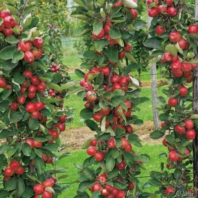 Saulen Apfel Coxcolumnar In 2020 Pflanzen Obstgeholze Gartenboden