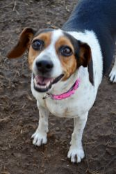 Adopt Mason On Terrier Dogs Dogs Beagle Mix