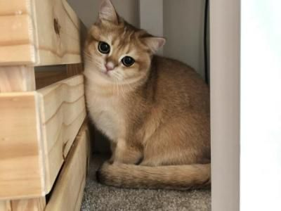 Fei Female British Shorthair Kitten For Sale In New Jersey United States Profile Id 28020 British Shorthair Kittens Cat Allergies British Shorthair