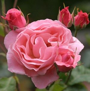 Queen Elizabeth®  Front yard  Next to 'Peace' the most widely grown rose in the world. Pink 3-4