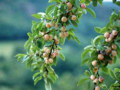 Mirabellenbaum Schneiden So Erziehen Verjungen Und Lichten Sie Ihn