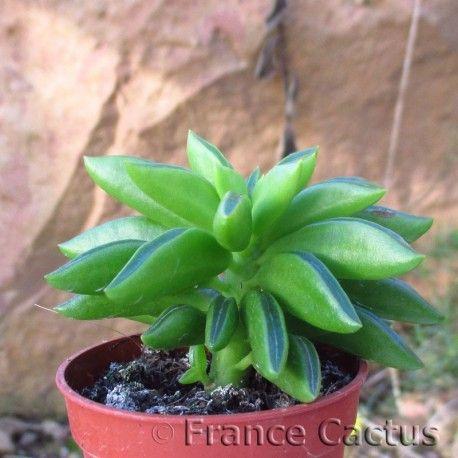 Peperomia Ferreyrae Planter Des Fleurs Euphorbe Et Feuilles Vertes
