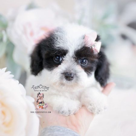 Teacup And Toy Poodle Puppies Teacups Puppies Boutique Part