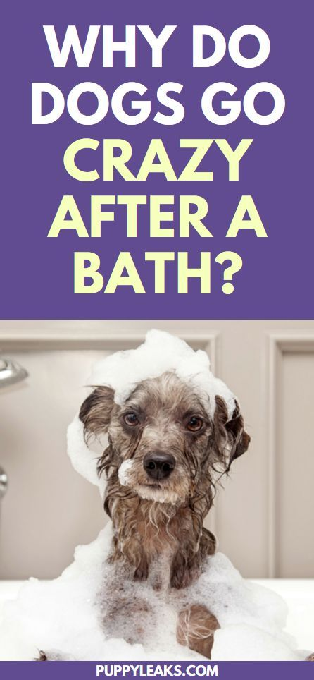 Why Do Dogs Go Crazy After A Bath Puppy Owner Advice Dogs