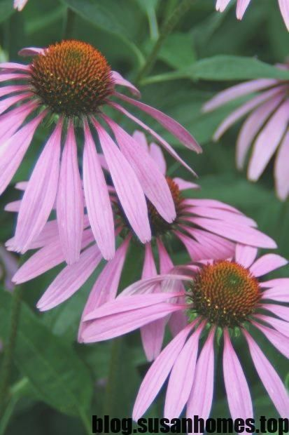 New Free Coneflower Companion Concepts Coneflowers Will Be Popular Perennials Together With Very Good Reason They Are Plants Flowers Perennials Perennials