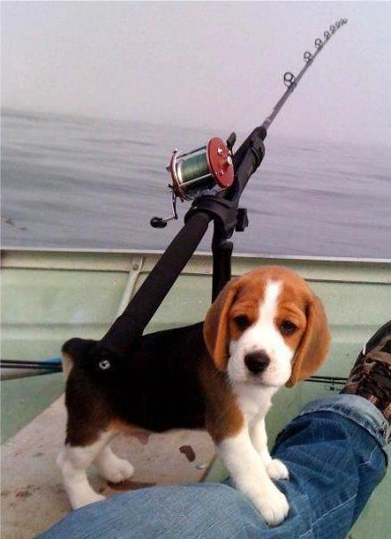 Beaglesmemes Beagle Puppy Cute Beagles Beagle