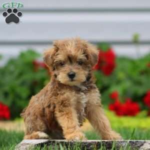 Mini Schnoodle Puppies For Sale In 2020 Schnoodle Puppy Mini Schnoodle Schnoodle Puppies For Sale