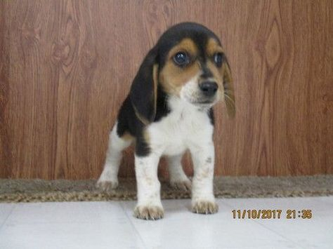 Beagle Puppy For Sale In Stonefort Il Adn 51281 On Puppyfinder