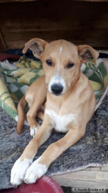 Hund Podenco Mischling Mischlingshunde Podenco Haustier