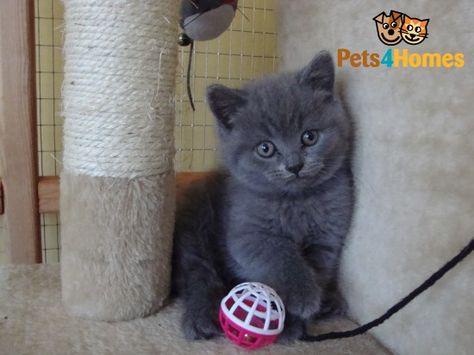 British Shorthair Kittens British Shorthair British Shorthair Kittens Kittens