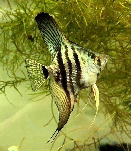 Blue Zebra Pearlscale Rainbow Widefin Angelfish Angel Fish Zebra Mini Bites Food