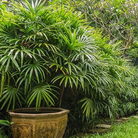Lady Palm Tree Growing Plants Indoors Cool Plants Fast Growing Trees