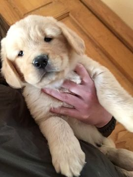 Golden Retriever Puppy For Sale In Bristol Vt Adn 67264 On