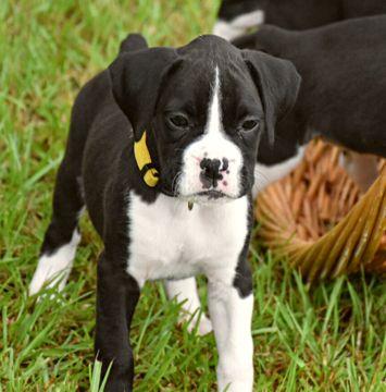 Miniature Boxer Puppies Lovetoknow