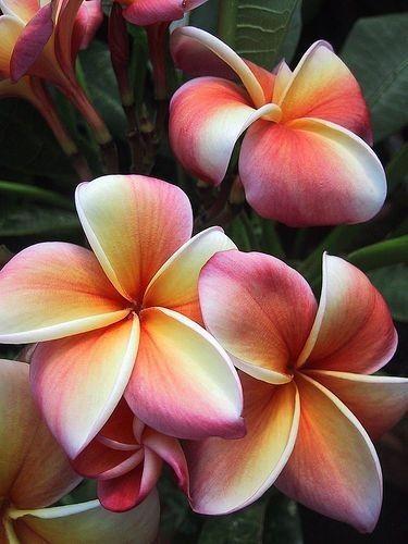 Plumeria Bonsai : plumeria, bonsai, Belinda, Miller, Frangipani, Flower, Seeds,, Plumeria, Flowers,