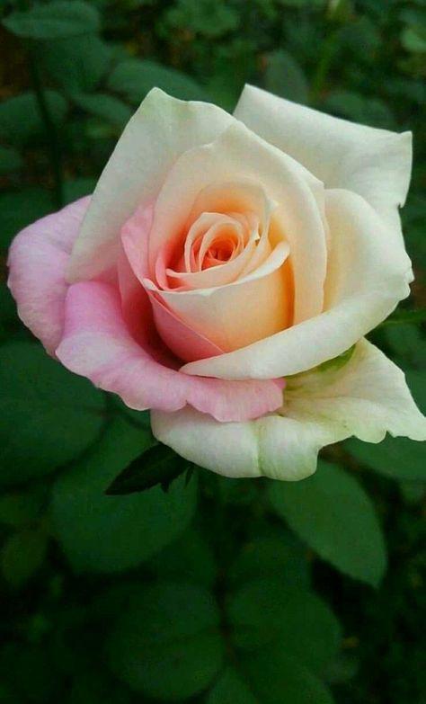 Rose #rosegardening- Rose #rosegardening  Rose #rosegardening   -#flowersdrawingforkids #flowersdrawingoutline #flowersdrawingpainting #flowersdrawingwallpaper #vintageflowersdrawing