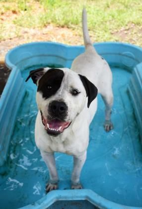Adopt Dirk On Petfinder Dogs Animals Bulldog Dog