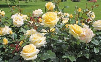 Rosen Uberwintern Selbst De Rosen Uberwintern Rosen Tomaten Garten