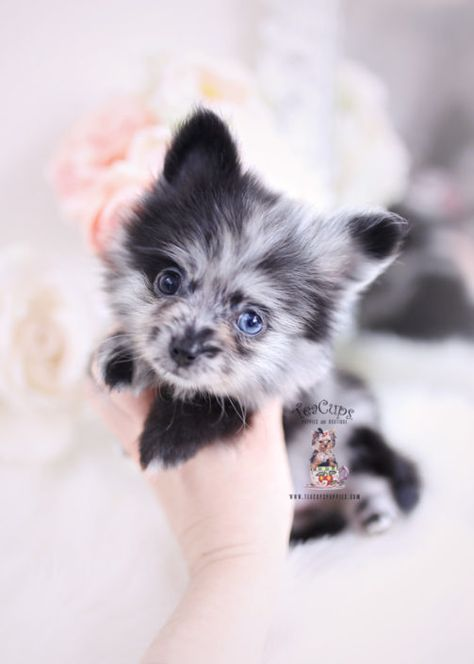 Tiny Teacup Pomeranian puppies available in our store.Your Micro Teacup Pomeranian puppy is conveniently small and cute. Find your tiny Pomeranian ur boutique. Pomeranian Breeders, Blue Merle Pomeranian, Pomeranian Puppy For Sale, Teacup Pomeranian, Chihuahua Puppies, Pomsky, Pomeranians, Chihuahuas, Cute Baby Puppies