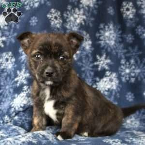 Joey Cairn Terrier Mix Puppy For Sale In Pennsylvania Terrier