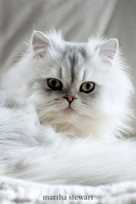 Persian cats originate from Iran, and their long fur and distinctive smush face make them a classic show cat. These felines are known to be friendly toward other animals and children, and they love receiving lots of attention from their people. #marthastewart #lifestyle #petcare #pets