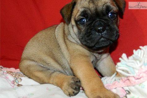 English Bulldog Pug Mix Puppies For Sale Zoe Fans Blog Pug Mix