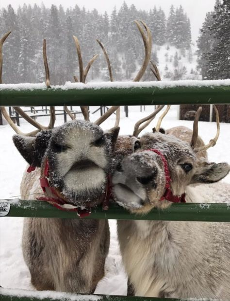 Ive always got time for reindeer games! Q: Whats your favorite reindeer name? Mine is either Comet or Cupid Christmas Feeling, Christmas Time Is Here, Cozy Christmas, Reindeer Christmas, Elegant Christmas, Christmas Animals, Reindeer Photo, Christmas Tables, Christmas Scenes