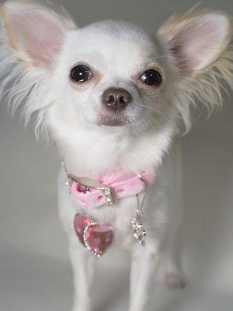 White Long Haired Chihuahua Teacup Aquiles Baez Com Hash
