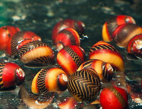 These snails grow up to and do not breed in freshwater, so you will never be overrun by offspring. They eat a tremendous amount of algae.