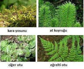 çiçeksiz bitkiler   Bitki, Otlar, Eğrelti otu