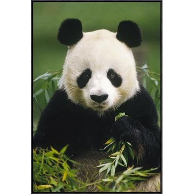 """East Urban Home 'Giant Panda Eating Bamboo' Framed Photographic Print on Canvas Size: 36"""" H x 24"""" W x 1.5"""" D"""