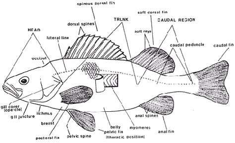 Perch Dissection Diagram Labeled Pictures Perch Dissection Diagram