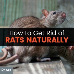 The Energy Boosting Hormone Balancing Enzyme You Need To Know About Getting Rid Of Rats Getting Rid Of Mice Rats