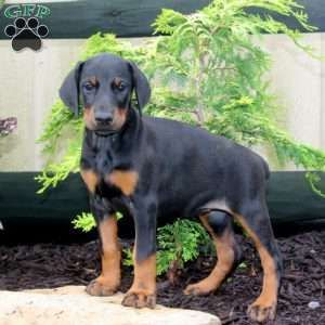 Marsha Doberman Pinscher Puppy For Sale In Pennsylvania