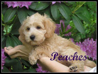 Growing Puppies Virginia Schnoodle Breeder Hypoallergenic Dogs Gallery Schnoodle Dogs Hypoallergenic Dogs
