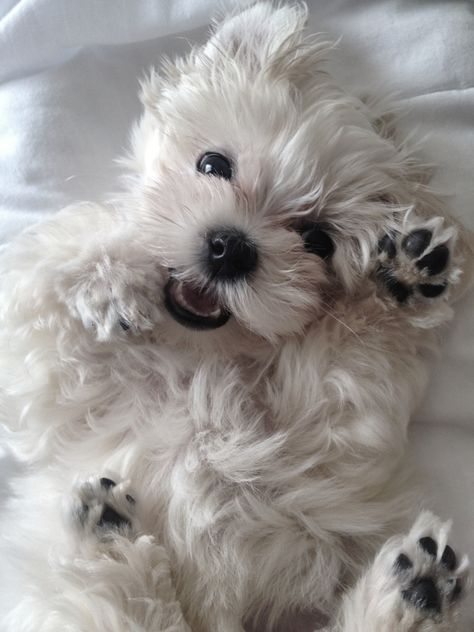 Dog And Puppies Small .Dog And Puppies Small Westie Puppies, Maltese Dogs, Westies, Cute Puppies, Dogs And Puppies, Doggies, West Highland Terrier, Cute Baby Animals, Funny Animals