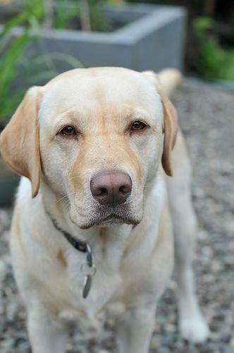 Labrador For Sale Near Me It S Time For Labradorhuskymix