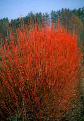 stolonifera 20 graines-Red Osier Cornus SERICEA redtwig Dogwood