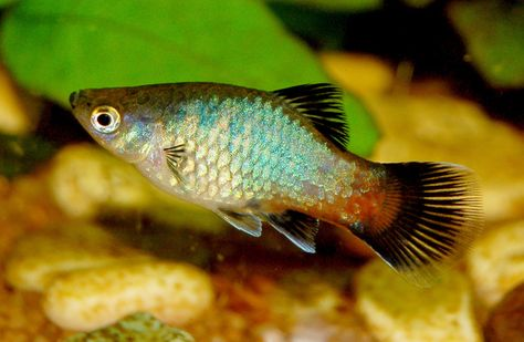 The Eye Catching Colors And Patterns Of The Platy Fish Platy Fish Freshwater Fish Aquarium Fish