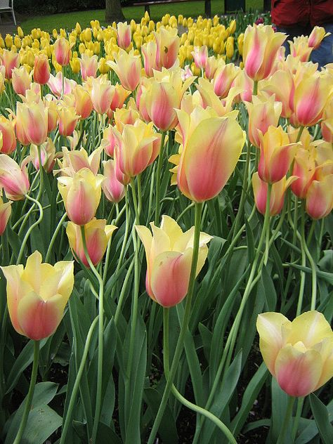 Kukenhof, Netherlands...tulip time.
