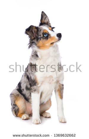 Stock Photo Young Miniature Australian Shepherd Sitting On White Background And Looking Up Buy Pets Miniature Australian Shepherd Online Pet Supplies
