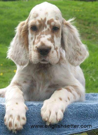 English Setter Puppy Orange Belton Setter Puppies English Setter Puppies English Setter Dogs