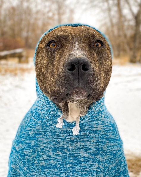 "Zeus Shaw on Instagram: ""Seal or pitbull? 🤔 #snowday #sweaterweather #naturelovers #dogmodel #photographylovers #coloradolifestyle #doglovers #portraitphotography…"""