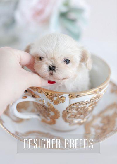 Teacup Puppies Morkie Maltipoo Designer Breed For Sale Teacup