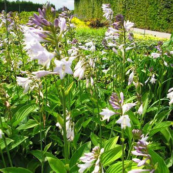 Funkie Herzlilie Hosta Fortunei Hyacinthina Lila Topfgarten Gartenboden Schattengarten