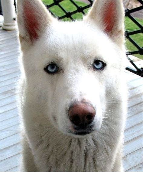 Image Result For Dogs Husky White German Shepherds Wolves Hybrids German Shepherd Husky Mix German Shepherd Husky Husky Mix