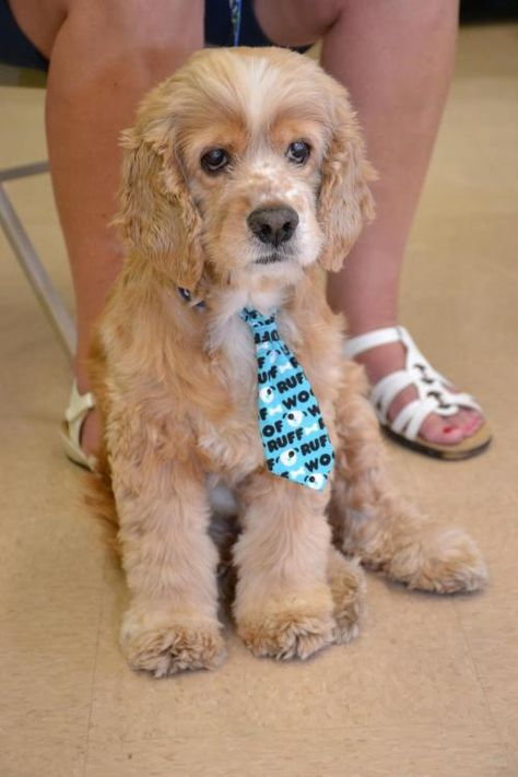 Adopt Biscuit On Dogs Cocker Spaniel