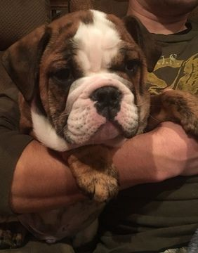 English Bulldog Puppy For Sale In Whitehouse Station Nj Adn