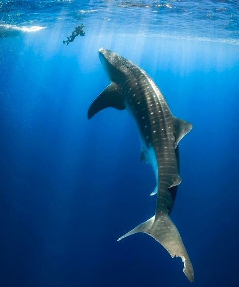 ~Simply breathtaking🦈❤🌊 What is your best underwater encounter? Karmen Jones-Cox captured this stunning shot of a whale shark off the… The Ocean, Ocean Life, Fishing Photography, Underwater Photography, Swimming With Whale Sharks, Shark Fish, Delphine, Oceans Of The World, Mundo Animal